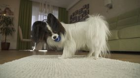 Dog Papillon playing with a ball on rug in the living room. Dog Papillon playing with a ball on a rug in the living room Stock Image