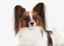 Dog. Papillon puppy on a white background Stock Photo