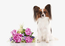 Dog. Papillon puppy on a white background Stock Images
