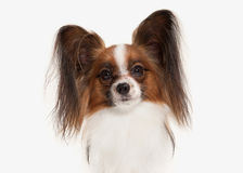 Dog. Papillon puppy on a white background Royalty Free Stock Images