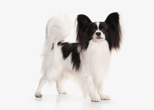 Dog. Papillon puppy on a white background Royalty Free Stock Photos