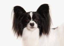 Dog. Papillon puppy on a white background Stock Photos