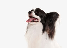 Dog. Papillon puppy on a white background Stock Photography