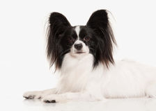 Dog. Papillon puppy on a white background Royalty Free Stock Photo
