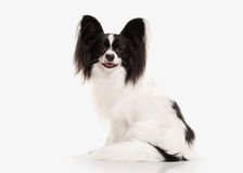 Dog. Papillon puppy on a white background Royalty Free Stock Photography