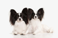 Dog. Papillon puppy on a white background Stock Image