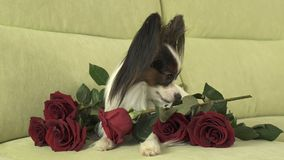 Dog Papillon with red rose in love on valentines day. Dog Papillon with a red rose in love on valentines day Stock Image