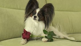 Dog Papillon with red rose in love on valentines day. Dog Papillon with a red rose in love on valentines day Royalty Free Stock Photos