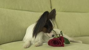 Dog Papillon with red rose in love on valentines day. Dog Papillon with a red rose in love on valentines day Stock Photos