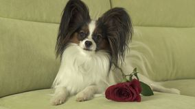 Dog Papillon with red rose in love on valentines day Stock Image