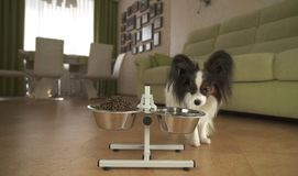 Dog Papillon runs to the bowls with food in living room. Dog Papillon runs to the bowls with food in the living room Stock Photos
