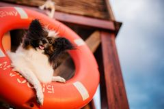 Papillon sitting in the air rescue circle stock photos