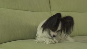 Dog Papillon sniffs and gnaws white flowers in love on valentines day stock footage video. Dog Papillon sniffs and gnaws a white flowers in love on valentines stock video footage