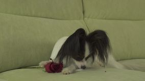 Dog Papillon sniffs red rose and cuts off petals in love on valentines day stock footage video. Dog Papillon sniffs a red rose and cuts off petals in love on stock video