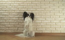 Dog Papillon stands on its hind legs against decorative brick wall. Dog Papillon stands on its hind legs against a decorative brick wall Royalty Free Stock Photography