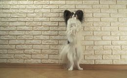 Dog Papillon stands on its hind legs against decorative brick wall. Dog Papillon stands on its hind legs against a decorative brick wall Stock Photos
