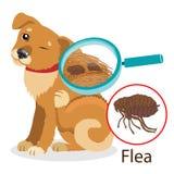 Dog Parasite. Pet Flea Treatment. Spread Of Infection. Pet Veterinary Medicine Vector. Flea Control for Dogs. Dog Parasite. Pet Flea Treatment. Flea In The Fur Royalty Free Stock Image