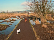 At the Dog Park. Two Pit Bulls walking at Marymoor dog park in Redmond, WA Royalty Free Stock Images