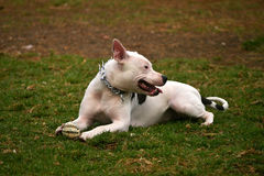 Dog in the park Royalty Free Stock Image