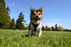 Dog at the park Royalty Free Stock Image