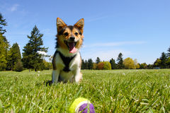 Dog at the park. A young dog playing at the park with a ball on a sunny day Stock Photography