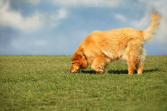 Dog in the Park. Golden Retrieve mix walking on grass against blue sky and clouds royalty free stock image