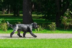 Dog in the park. Dog breed spaniel on the grass in the park Stock Image
