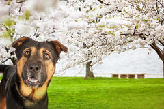 Dog At Park With Cherry Blossoms Royalty Free Stock Image