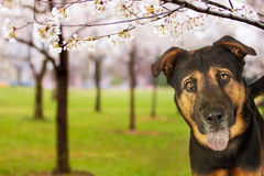 Dog At Park With Flowering Trees Stock Photos
