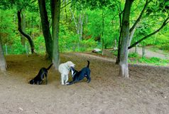 Dog Park Games, vet veterinarians pets kennels. Three dogs playing with each other, two black-and-white, one larger white dog. Green vegetation, tree trunks, fun royalty free stock photo