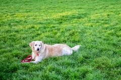 Dog in the Park on the grass stock photography