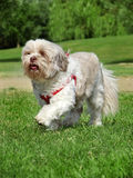 Dog in the park (Lhasa Apso) Royalty Free Stock Photo