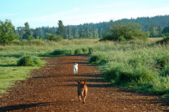 Dog Park Run. Two dogs running at the dog park Royalty Free Stock Photos