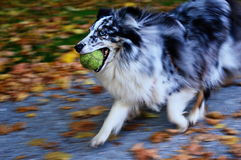 Dog in the park. A shelty with beautifull eyes playing with a tennis ball royalty free stock photo
