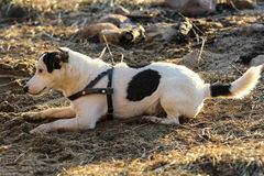 Dog parson Jack Russell terrier lying face downward on the sand Stock Images