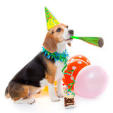 Dog birthday party animal. Dog party animal celebrating birthday or anniversary Stock Images