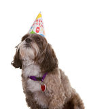 Dog with Party Hat. Small dog wearing a birthday party hat Royalty Free Stock Photography