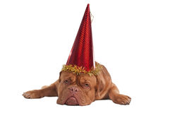 Dog with party hat Royalty Free Stock Photo