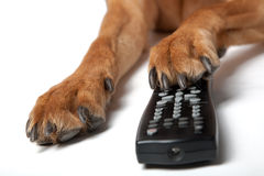 Dog pas with Remote Control royalty free stock photography