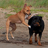 Dog pat dog. American staffordshire terrier female test carefully dominance over a female Rottweiler Royalty Free Stock Photo