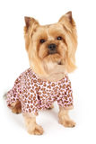 Dog in patchy coveralls. Photograph of the Yorkshire Terrier in patchy coveralls sits on white Royalty Free Stock Photos