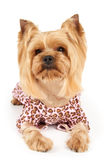 Dog in patchy overalls. Photograph of the perfectly groomed Yorkshire Terrier in patchy overalls sits on white Stock Photo