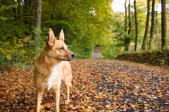 Dog on path. Dog admiring the nature in Autumn Stock Photo