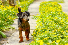 Dog in path of flowers. Dog (dachshund) standing on the path of flowers Royalty Free Stock Photography