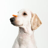 Dog Patience. Stock Photography