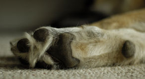 Dog paw. A closeup shot of a dog's paw royalty free stock photos