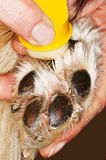 Dog paw. Care of a dog paw Royalty Free Stock Photo