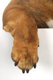 Dog paw. Hanging over white background Royalty Free Stock Photos