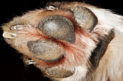 Dog paw Stock Photography