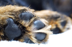 Dog paw Royalty Free Stock Image
